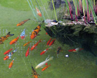 Aquarium for Koi spawning pool