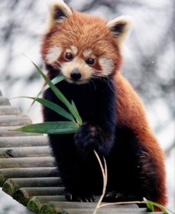 Image of: Nepal Mcgill Cs Red Panda